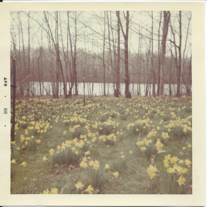 Daffodils at Lake Newport