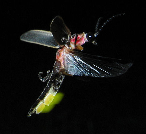512px-Photinus_pyralis_Firefly_glowing